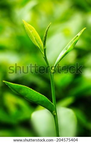 Close-up fresh tea leaves in plantation - stock photo