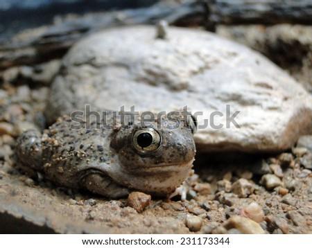 Close Up Frog - stock photo