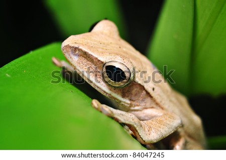 Close up frog resting on green leaf - stock photo