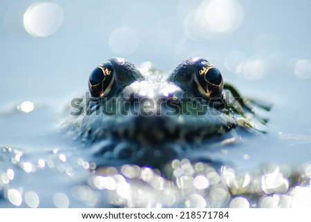 Close up frog watching from the wather - stock photo