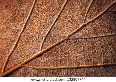 Close up from a brown oak leaf