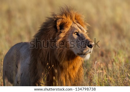 Close up from a Lion looking for food in Serengeti, Tanzania - stock photo