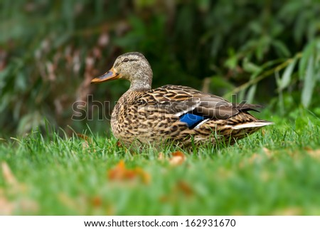Close-up from a wild duck (Anas platyrhynchos) - stock photo