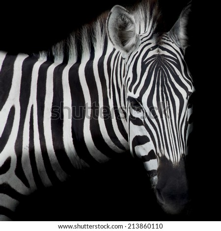 close-up from a zebra surrounded with black and white stripes