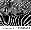 close up from a zebra surrounded with  black and white stripes in his herd  - stock photo