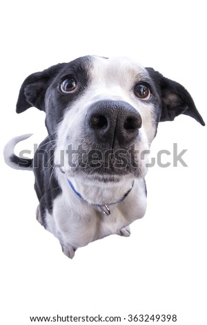 Close up from above of dog sitting looking up waiting for food isolated - stock photo