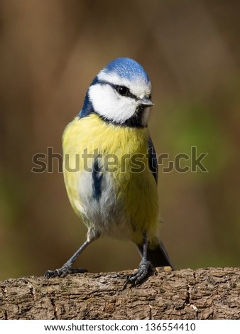 Close up front view of a bluetit standing on a brabch - stock photo