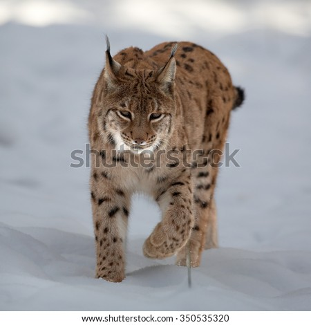 Close up front view of Eurasian Lynx Lynx lynx in winter in the movement on snowy ground.  - stock photo