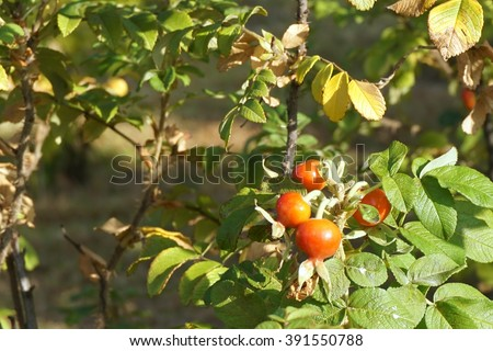 close up fruit of rose in the garden - stock photo