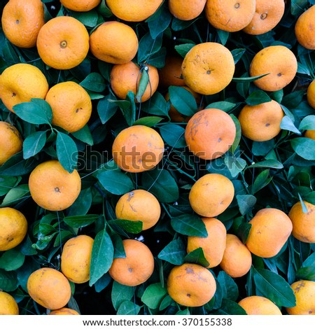 Close-up, full frame view of virbrant ripe Kumquats fruits on tree decorations for Chinese New Year. Kumquat (or cumquat, golden tangerine) is symbol of Lunar New Year. Nature background and texture. - stock photo