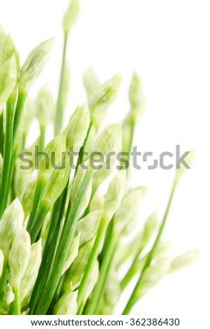 Close up garlic chives or chinese chive isolated on white background