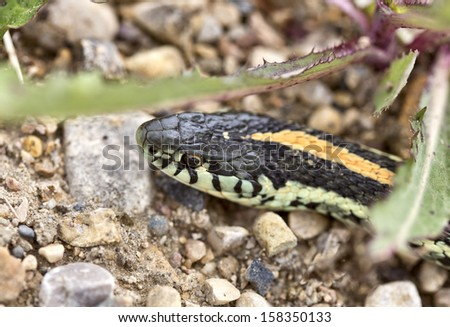 Close up Garter Snake on road in Canada