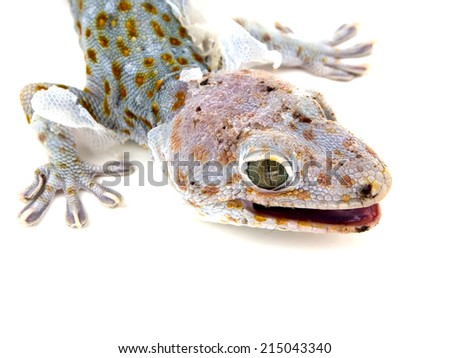 Close up gecko molting off the old skin  on white backgound - stock photo
