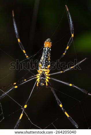 Close up Giant spider on the web (Nephila maculata) - stock photo