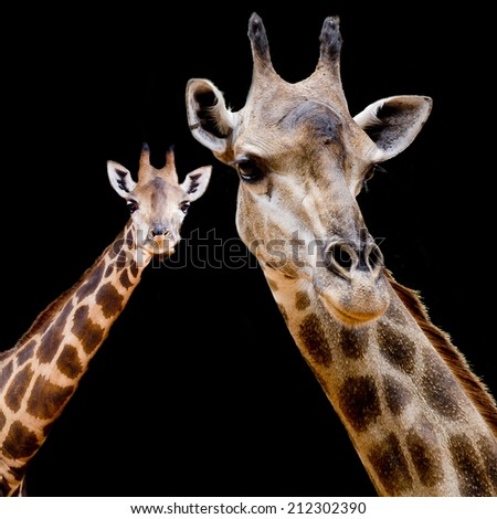 close up giraffe - stock photo