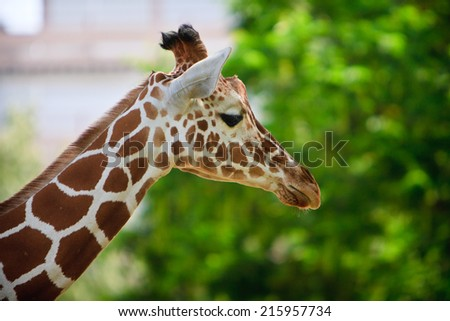 Close up giraffe face - stock photo