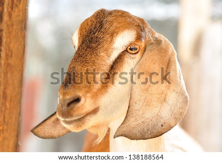 close up goat face. - stock photo