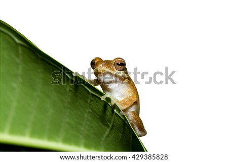 Close up golden tree frog on tree isolated on white background.Saved with clipping path. - stock photo