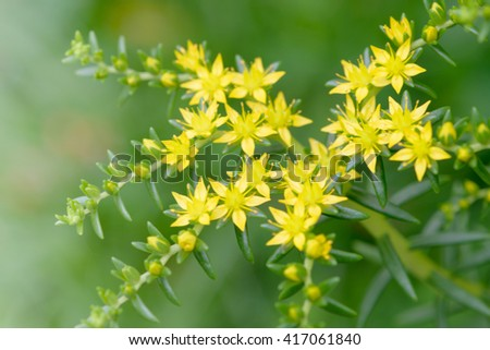 Close up goldmoss Stonecrop (Sedum acre) flower and leaves - stock photo