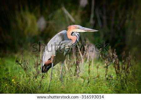 Close-up gray heron in a grass on river coast - stock photo