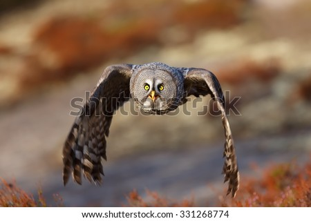 close up Great Grey Owl flying