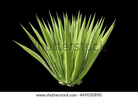Close up green agave plant isolated on black background. Saved with clipping path