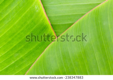 Close up green color banana leaf texture background