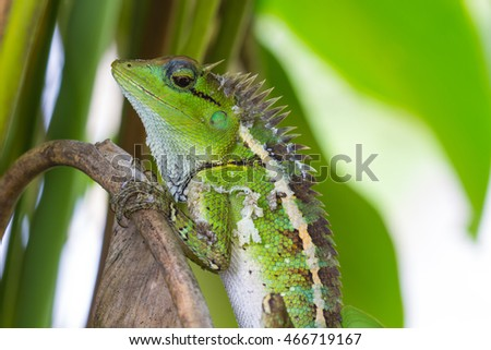close up Green crested lizard, black face lizard in forest