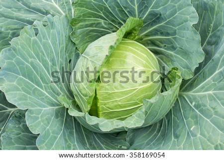 Close up Green Head cabbage