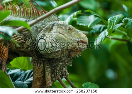 close-up green Iguana on tree. - stock photo