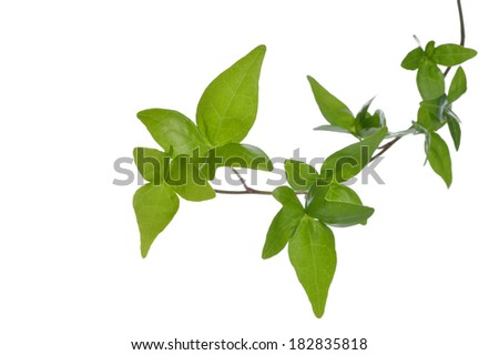 Close up green ivy (Hedera) plant isolated on white background. Creeper Ivy stem with young green leaves. - stock photo