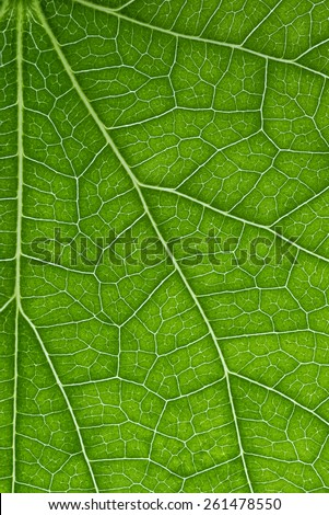Close up green leaf rib vein