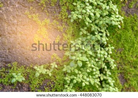 Close Up Green Moss on old wall, image is filter effect.