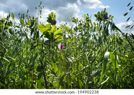 close up green oat field on summer day with blue sky background - stock photo