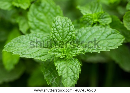 Close up green peppermint leaves. fresh mint herb. - stock photo