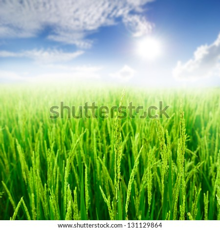 Close up Green rice field and sun sky - stock photo