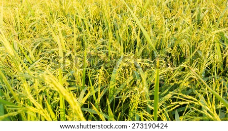 Close up green rice field of Thailand - stock photo