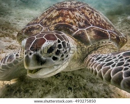 Close-up green sea turtle, sea turtle in blue water, green turtle in water, smiling turtle photo, sea turtle smiling, adult turtle, tropical animal, sea animal in water, swimming turtle.