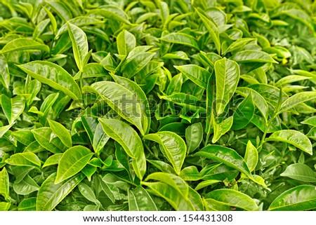 close up green tea leaves - stock photo