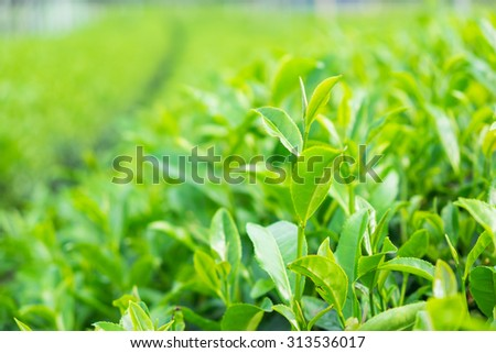 Close up green tea leaves on plantation
