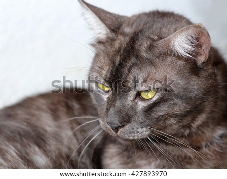 Close up grey cat lookout - stock photo