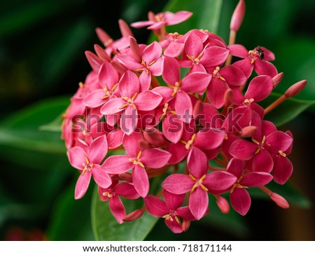 Pink spike flower stock images royalty free images vectors close up group of pink santan flower ixora coccinea flower spike flower mightylinksfo Image collections