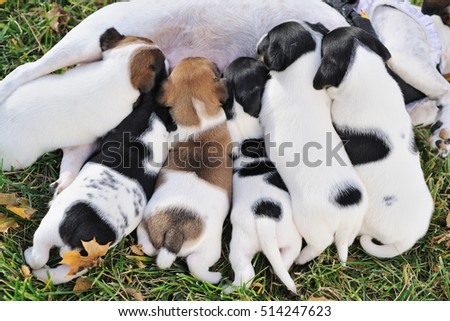 Close up group of puppies  of a jack russell to suck milk from their mother