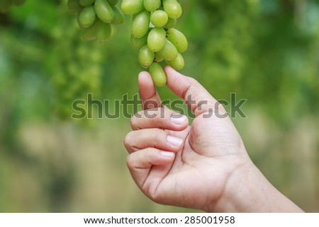 Close up hand holding bunch of fresh green grapes on the vine with green leaves in vineyard - stock photo
