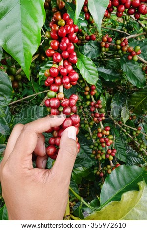 close up hand keep coffee beans for harvesting - stock photo