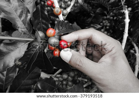close up hand keep coffee beans for harvesting take with selective color technique and art lighting                               - stock photo