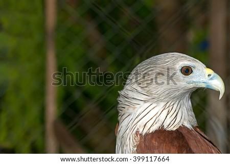 Close up hawk - portrait of Red Hawk (Haliastur indus) - stock photo