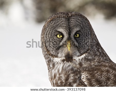 Close up head and shoulders image of a Great Grey Owl.  Provincial bird of Manitoba, Canada. - stock photo