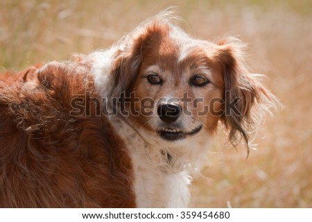 close up head and shoulders portrait of red and white haired collie type sheep dog