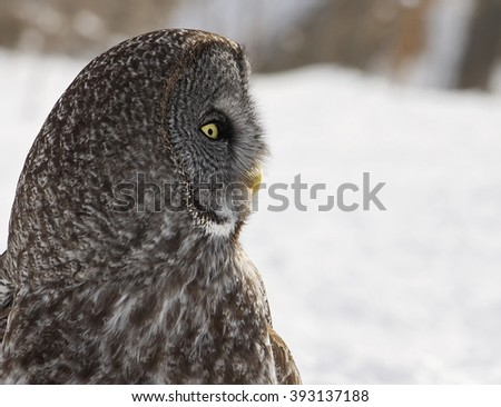 Close up head and shoulders profile image of a Great Grey Owl.  Provincial bird of Manitoba, Canada. - stock photo